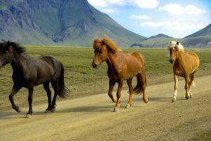נוף איסלנדי. וסוסים גם.